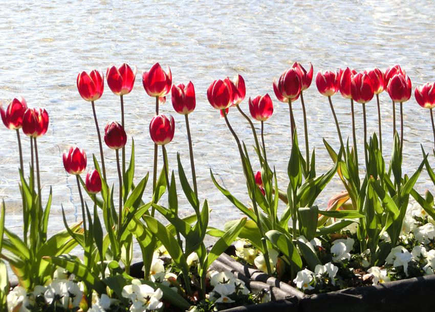 赤色チューリップ逆光 水辺に並ぶチューリップ 上野公園噴水広場のアイスチューリップ