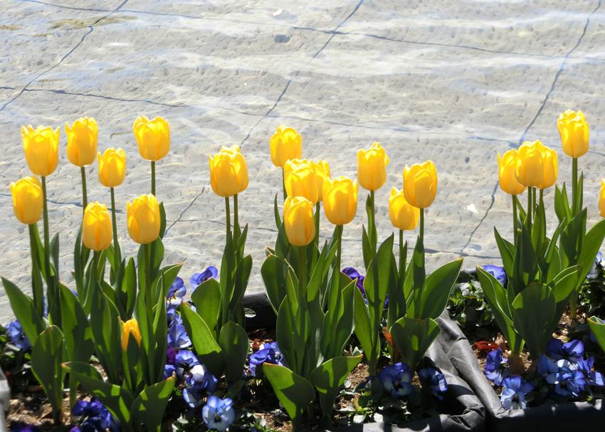 黄色チューリップ逆光 水辺に並ぶチューリップ 上野公園噴水広場のアイスチューリップ