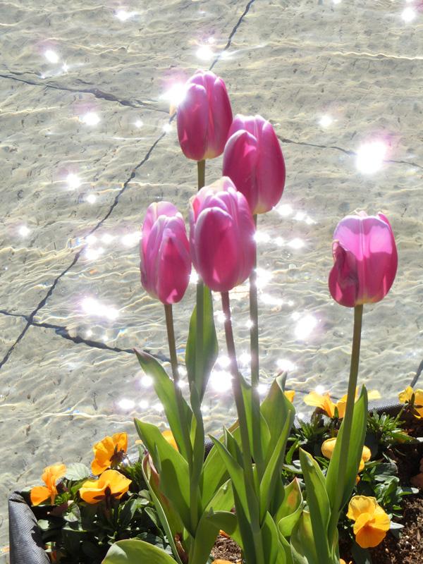 キラキラの光とチューリップ ピンクチューリップと水面の乱反射 上野公園噴水広場のアイスチューリップ