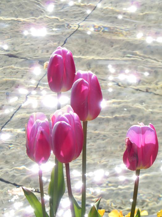 ピンクチューリップとキラキラの光 美しいチューリップ 上野公園噴水広場のアイスチューリップ