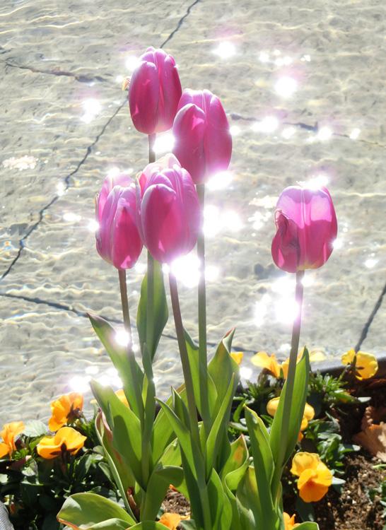 ピンクチューリップとキラキラの光 きれいなチューリップ 上野公園噴水広場のアイスチューリップ