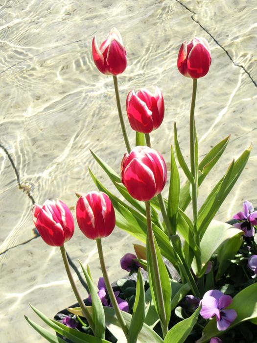 上野恩賜公園大噴水のアイスチューリップ 赤いチューリップの花 水面とチューリップ