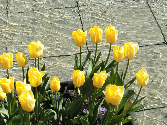 黄色チューリップ 波紋とチューリップ 上野公園噴水広場のアイスチューリップ