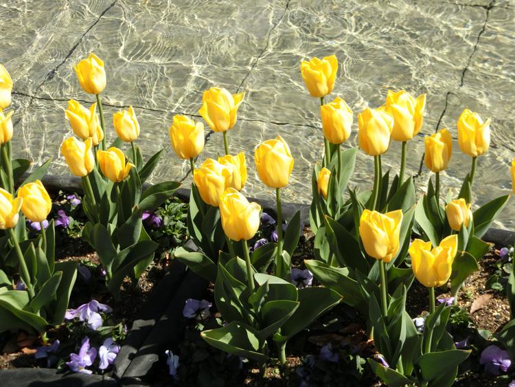 上野恩賜公園大噴水のアイスチューリップ 黄色チューリップ
