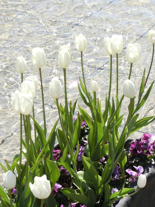 ホワイトチューリップとキラキラの光 美しいチューリップ 上野公園噴水広場のアイスチューリップ