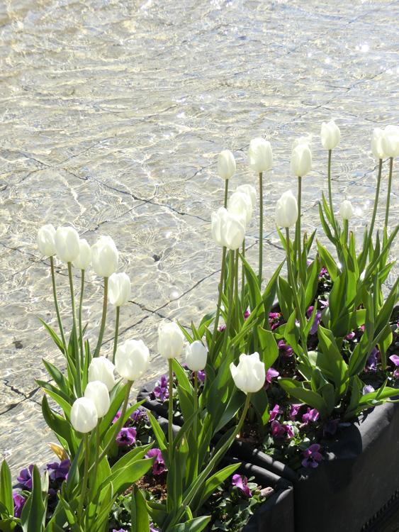 白チューリップと水面の乱反射 美チューリップ 上野公園噴水広場のアイスチューリップ