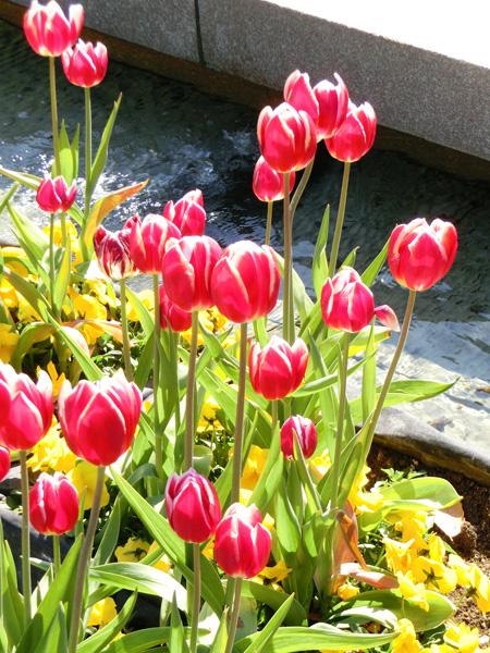 赤いチューリップ 上野公園噴水広場のアイスチューリップ チューリップとパンジー