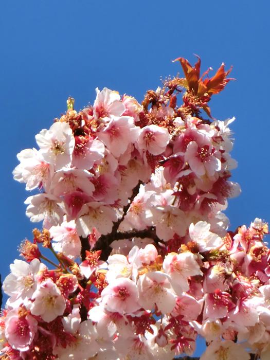 大寒桜 早春の青空と早咲きの桜の花 上野恩賜公園大噴水横の大寒桜