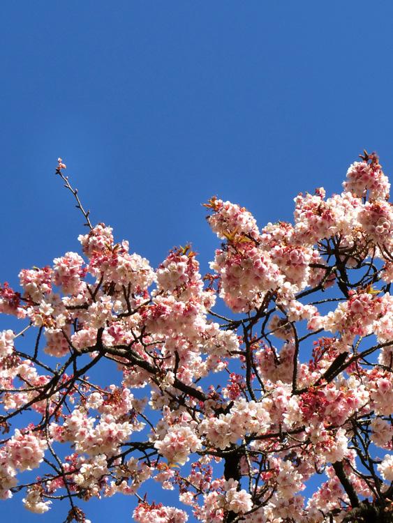 2月の桜 上野恩賜公園大噴水横の大寒桜 快晴の空にサクラ