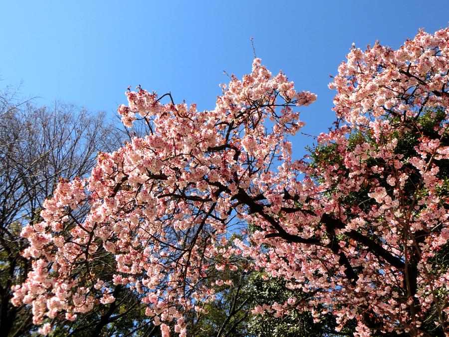 大寒桜 上野公園噴水横の早咲きの桜 早春の上野恩賜公園にて撮影の桜