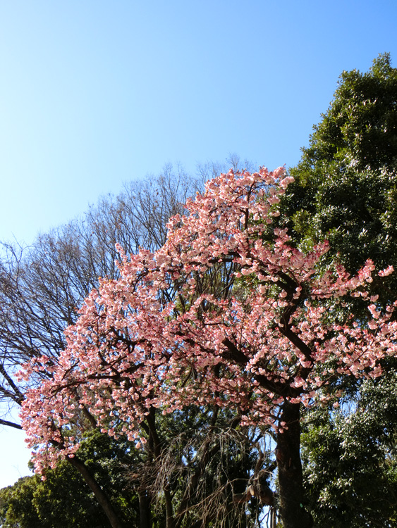 大寒桜 上野公園噴水横の早咲きの桜 2月中旬上野恩賜公園にて撮影の桜