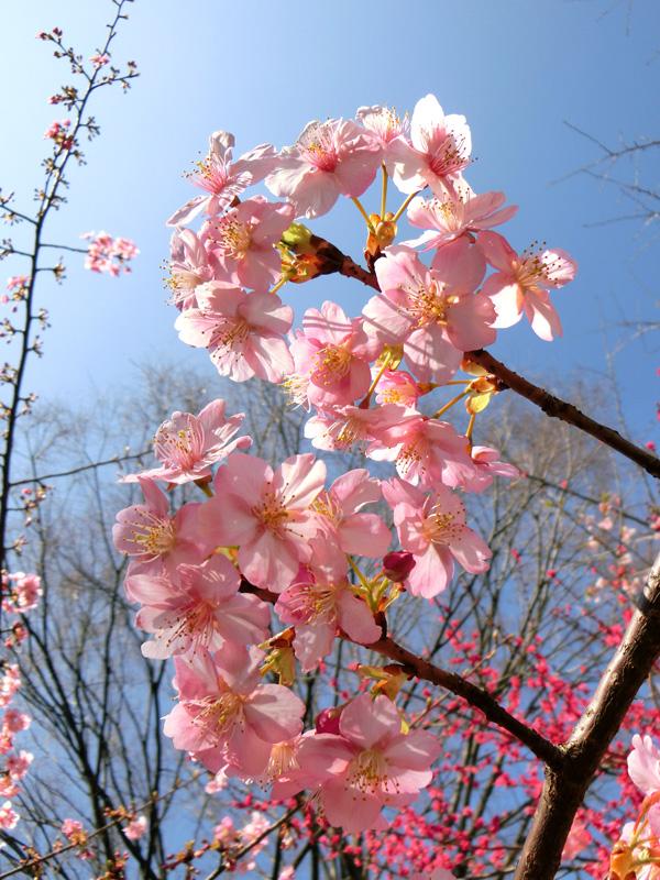河津桜 カワヅザクラ ピンクの桜の花 青空にサクラ 早咲きの桜