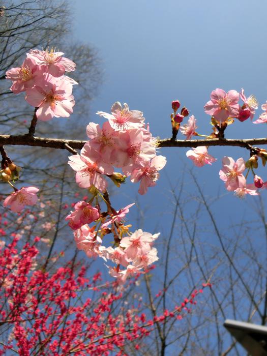 河津桜 カワヅザクラ 早咲きの桜 青空にサクラ ピンクの桜