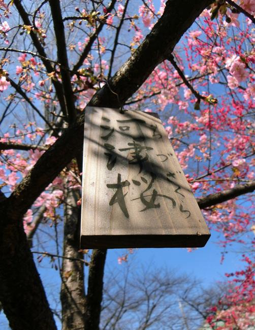 河津桜の名札 カワヅザクラ 早咲きの桜 ピンクの桜