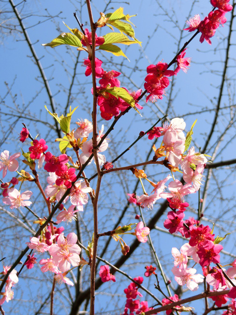 河津桜と紅梅 ピンクと紅色と青空のコントラスト