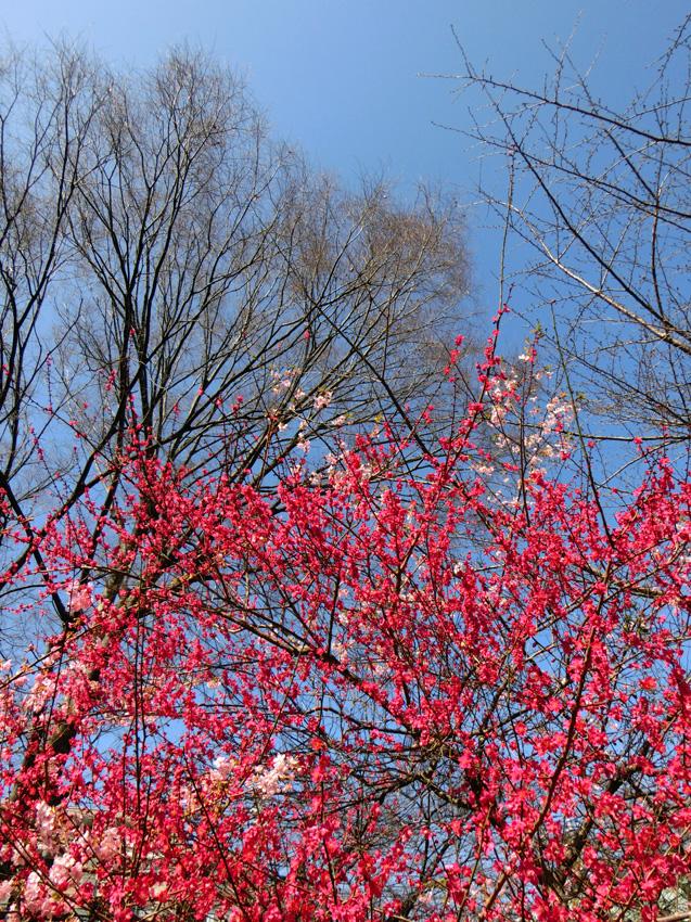 梅 紅梅 紅色のウメの花 青空に紅梅