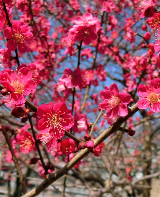 梅 紅梅 紅色のウメの花のアップ