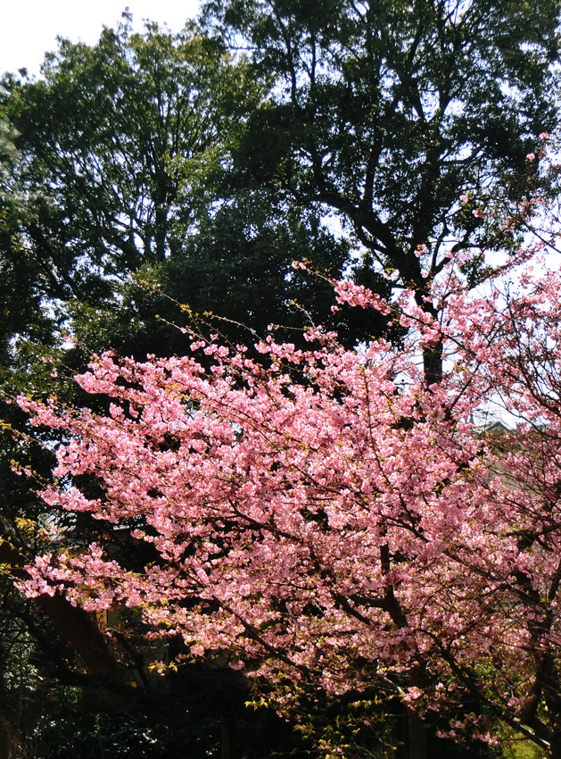 河津桜 カワヅザクラ 3月上旬のピンクの桜 公園の河津桜