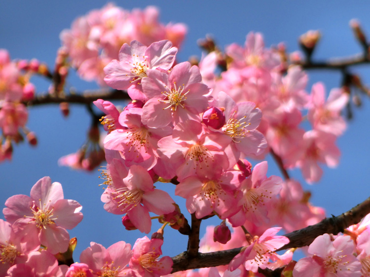 河津桜 カワヅザクラの花のアップ ピンクの桜