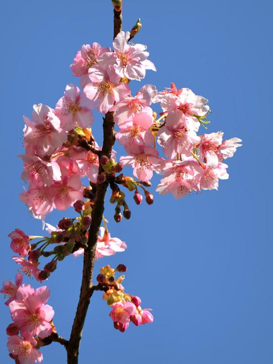 河津桜の花 ピンクのカワヅザクラ 青空にサクラ 桜の枝