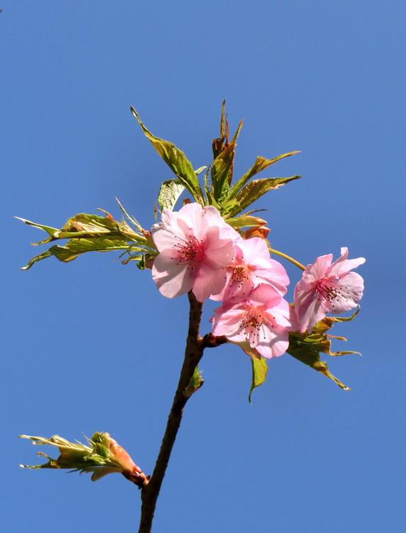 河津桜の花 ピンクの河津桜 花と若葉のアップ 青空にサクラ