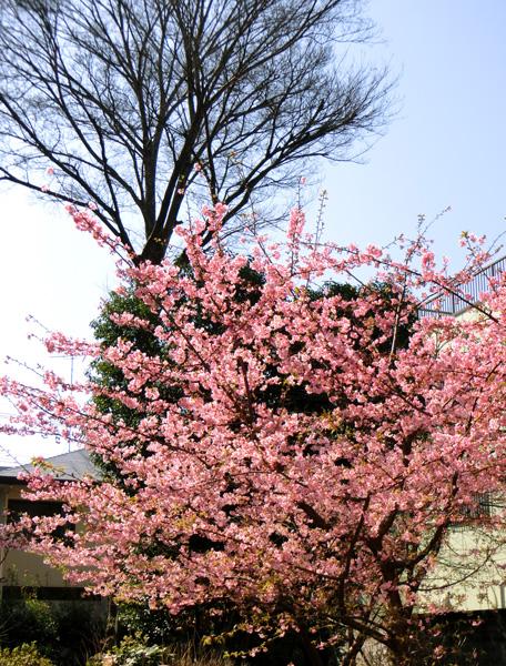 公園の河津桜 3月上旬に咲くピンクの桜