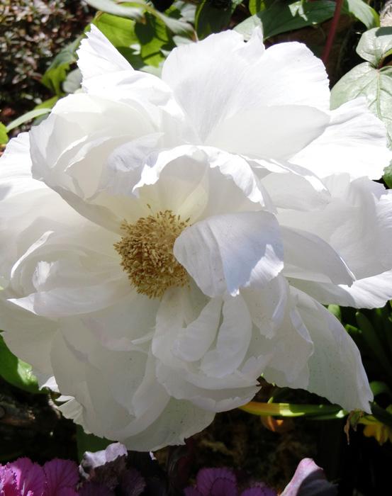 牡丹 上野東照宮ぼたん苑の冬牡丹 白い冬ぼたん