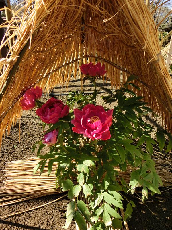 牡丹 上野東照宮ぼたん苑の冬牡丹 赤い冬ぼたん