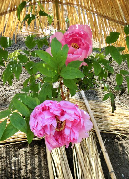 牡丹 上野東照宮ぼたん苑の冬牡丹 ピンクの冬ぼたん