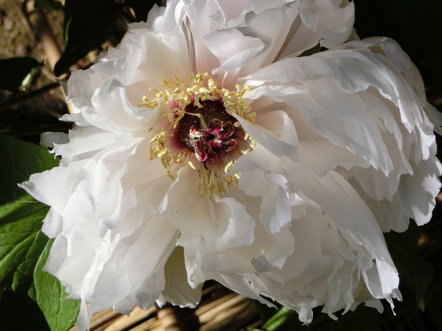 牡丹 上野東照宮ぼたん苑の冬牡丹 白いぼたんの花 富貴花 美麗 可憐 華麗な花 Paeonia
