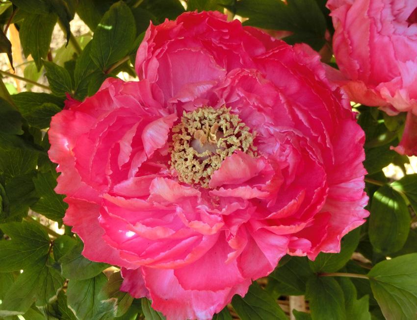 牡丹 向陽 上野東照宮ぼたん苑の冬牡丹 ピンクぼたんの花 花神 華麗な花 Paeonia