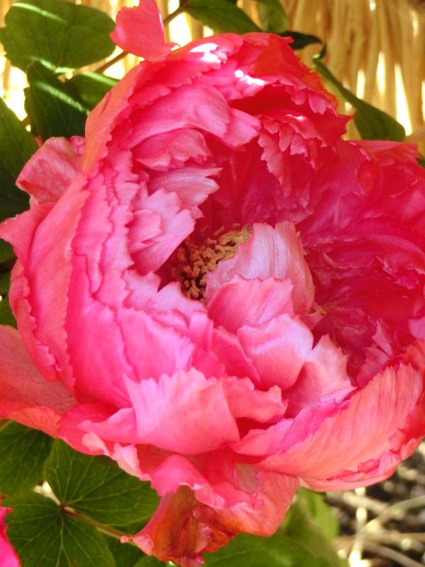 向陽 ピンクの冬牡丹の花 上野東照宮ぼたん苑の冬牡丹 花神 華麗な花 Paeonia