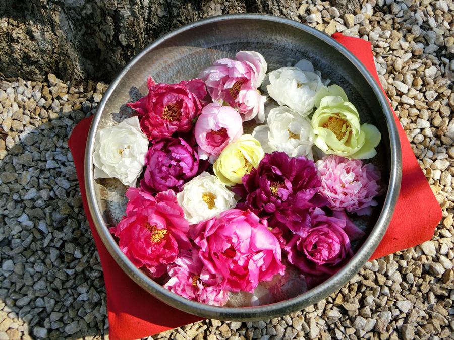 丸盆に牡丹の花 牡丹の花だけ集めた花入 上野東照宮ぼたん苑の冬牡丹 Paeonia