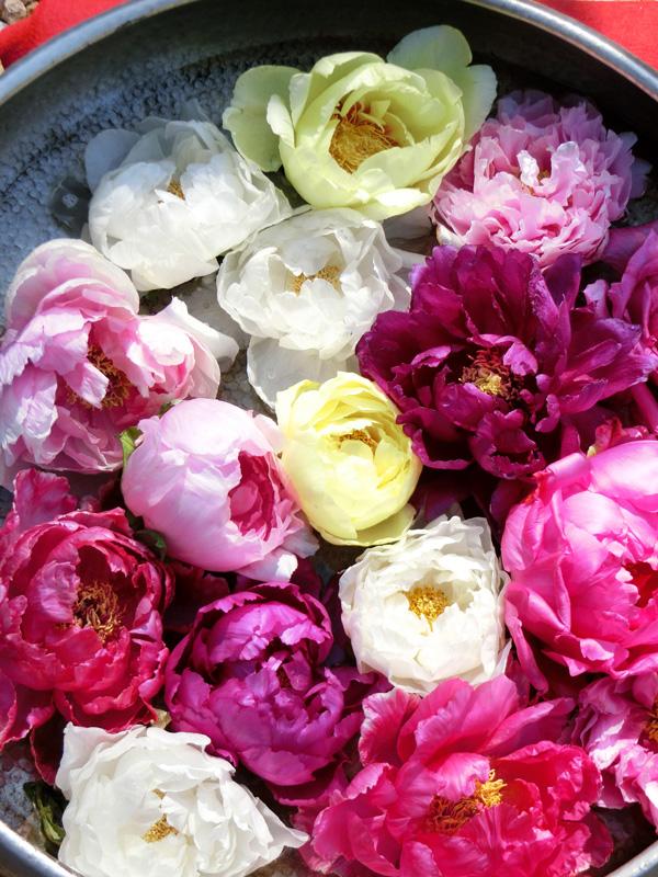 牡丹の花入 丸盆に色々な牡丹の花 上野東照宮ぼたん苑の冬牡丹 Paeonia