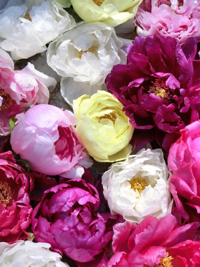 美しい牡丹の花のアップ 丸盆に色々な牡丹の花 上野東照宮ぼたん苑の冬牡丹 Paeonia