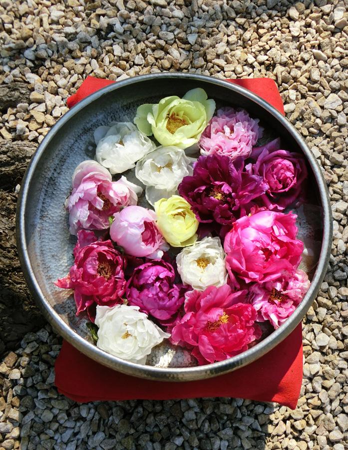 丸盆に牡丹の花だけ入れた演出 上野東照宮ぼたん苑の冬牡丹 Paeonia