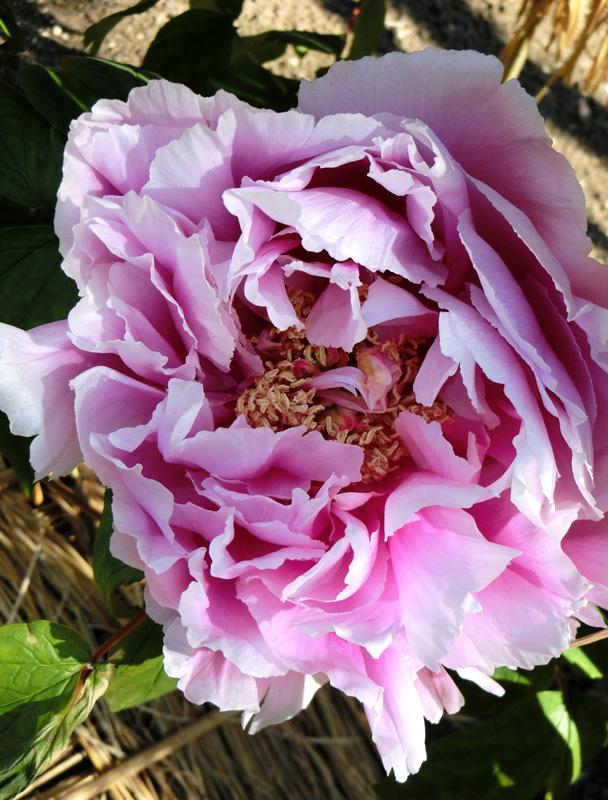 上野東照宮ぼたん苑 冬牡丹 美しい白と紫の牡丹の花 富貴花 Paeonia