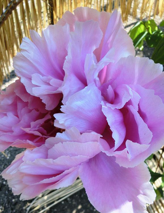 冬牡丹の花びら 美しい淡い紫の牡丹の花 上野東照宮ぼたん苑 富貴花 Paeonia