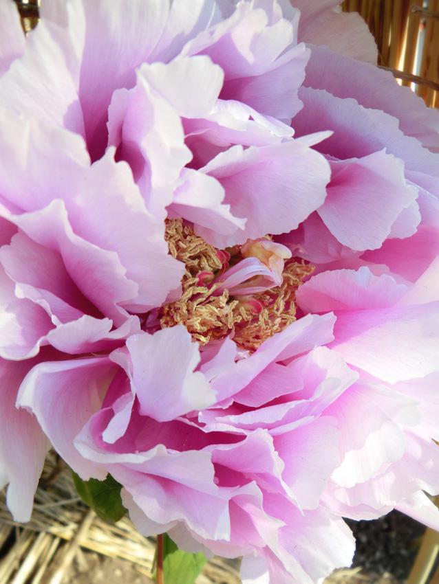 白と赤紫のグラデーションが美しい牡丹の花のアップ 上野東照宮冬ぼたん Paeonia 花神 富貴花
