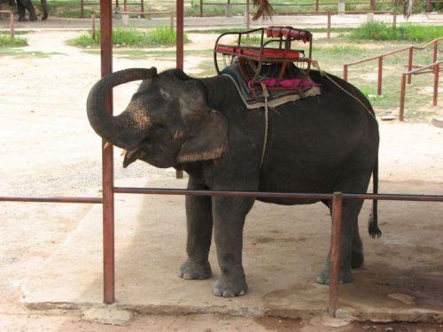 耳がかゆい象