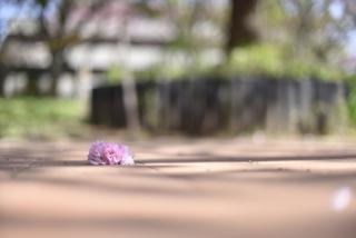 菊名 桜山 さとさくら 関山