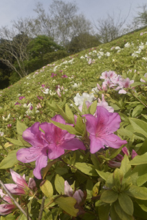 湘南国際村 つつじ 春