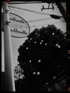 桜 花びら 散る モノクロ B&W