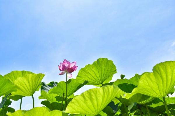 三渓園 蓮 Lotus 原始蓮