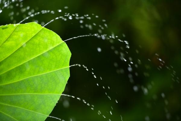 三渓園 蓮 Lotus 蓮の葉シャワー