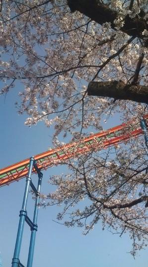 桜とジェットコースター