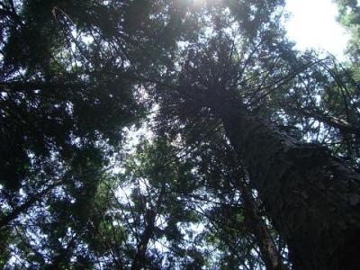 間伐前の暗い森の樹冠です。
