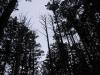 箒のように上方に枝を広げて枯れた300年生のヒノキ