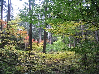 天然林と紅葉