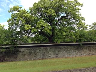 07熊本城外周の巨木